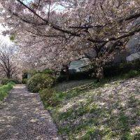 桜と花びらイメージ画像