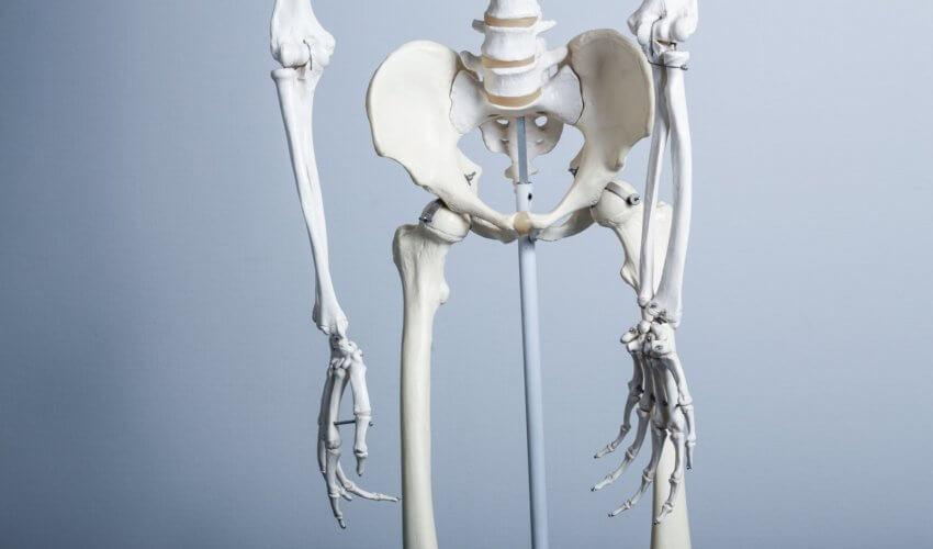 人骨の標本